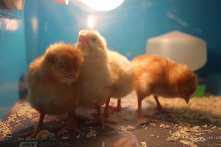 chicks 26