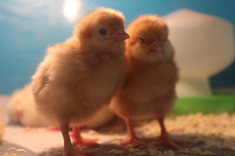 chicks 30